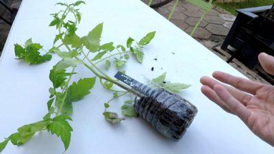 La plantation des tomates au potager