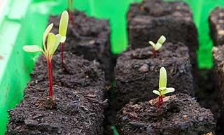 semis de betterave