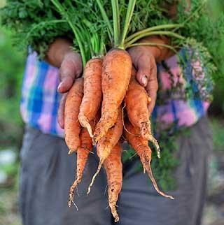 Fiche culture carotte