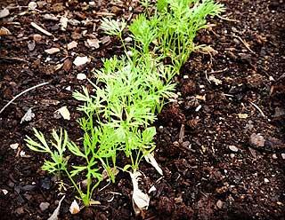 semer des carottes