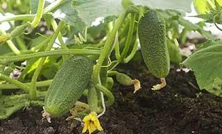 bienfaits du concombre