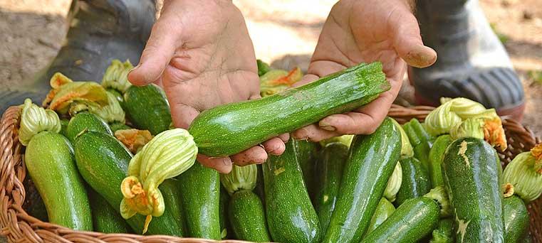 courgette du potager