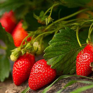 Fiche culture fraise