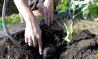 Plantation tomate