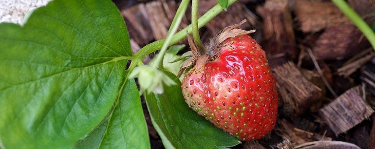 Les premières fraises de mon potager
