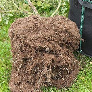 Système racinaire dans un sac de plantation