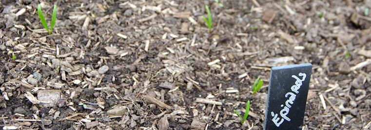Semis d'épinards au potager