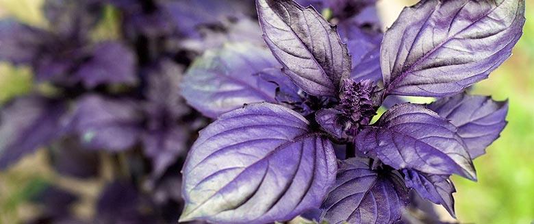 Les feuilles de basilic pourpre