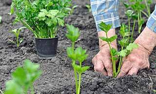 planter du céleri
