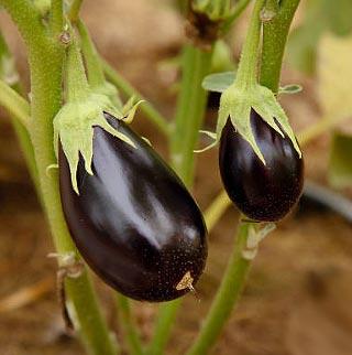 Fiche culture aubergine