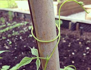 plantation des haricots verts