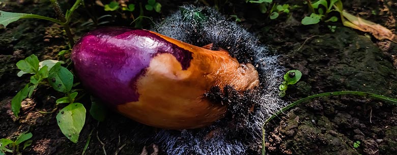 Maladie aubergine au potager