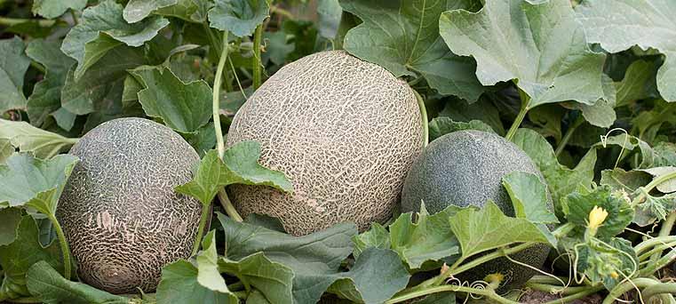 plantation de melon