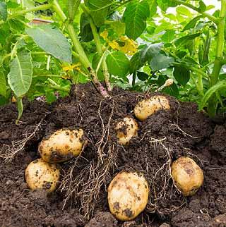 Fiche culture Pomme de terre