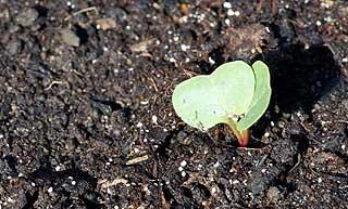 jeune pousse de radis