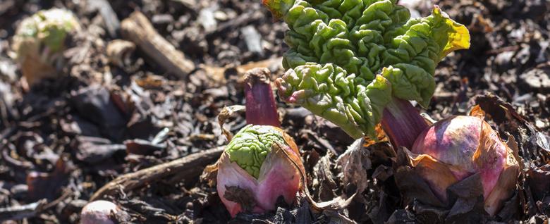 Rhubarbe qui pousse