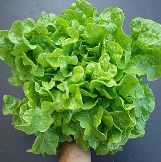Fiche culture Salade