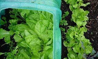 jeune salade au potager