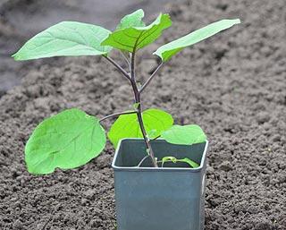 Plant d'aubergine à repiquer