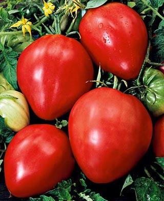 Tomate Fleurette F1