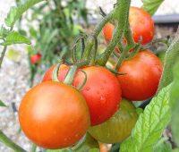 Les tomates rondes précoces