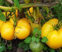 Les tomates énormes : tomate ananas du potager
