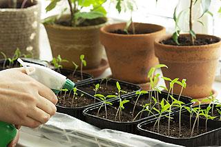 L'arrosage des semis