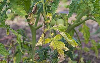 éliminer le mildiou sur les tomates