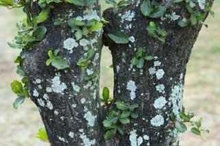mildiou sur le tronc