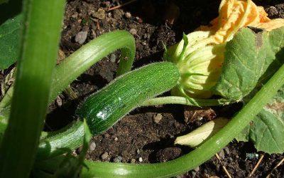 Quels légumes planter à côté des courgettes ?