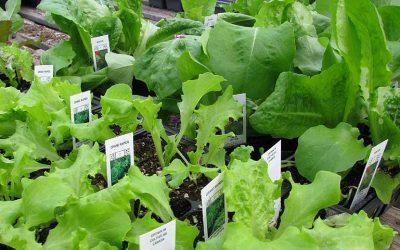 cultiver des salades d'automne et d'hiver