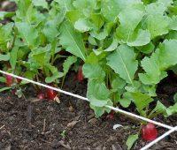 faire pousser des radis