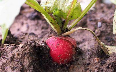 variétés de radis