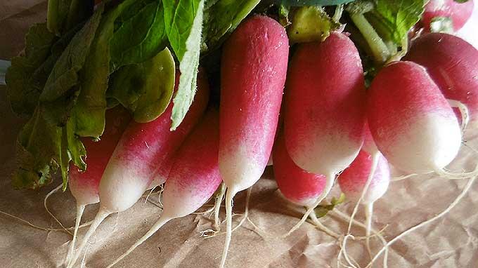 Conserver des radis