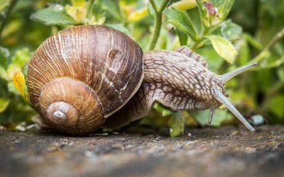 se débarrasser des limaces et escargots