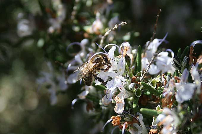 abeille sur du romarin