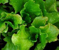 planter salade d'été