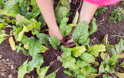 Éclaircissage des légumes