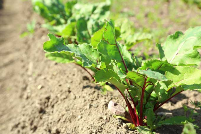 jeune plant bettrave