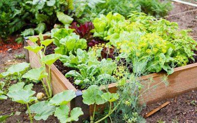 légume facile à cultiver