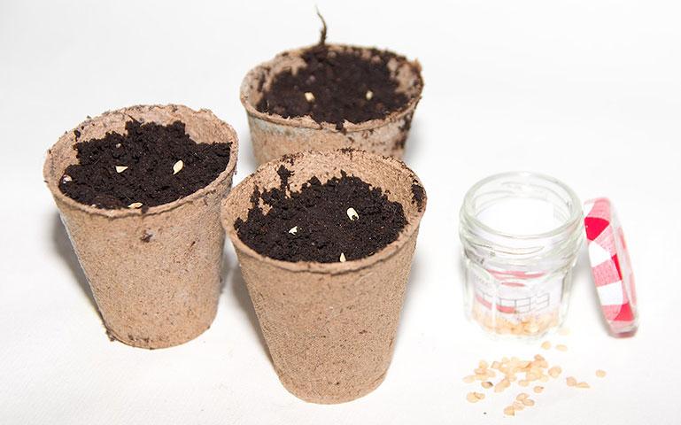 Semis piment de Cayenne
