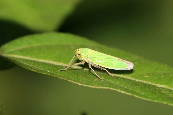 Cicadelle sauge