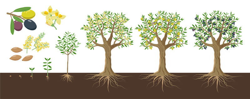 Croissance de l'olivier