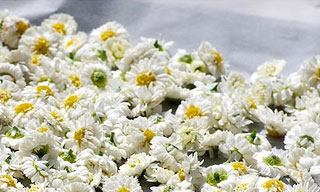 Fleurs de camomille en plein séchage