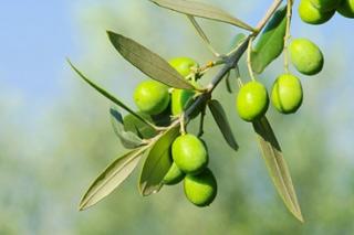 L'olive, le fruit de l'olivier.