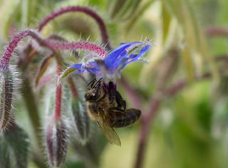 Insecte pollinisateur