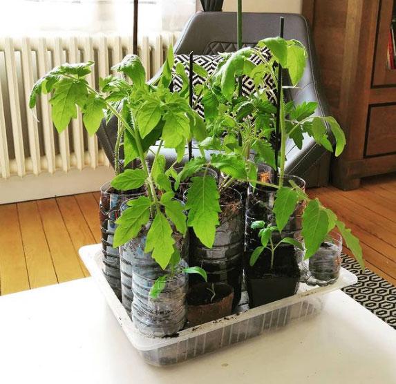 Les semis de tomates en bouteille