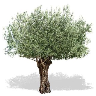 L'olivier, ses origines