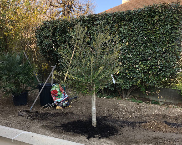 Plantation d'un olivier en jardin