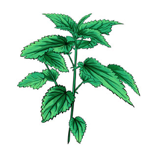 L'ortie commune, membre de la famille des Urticaceae